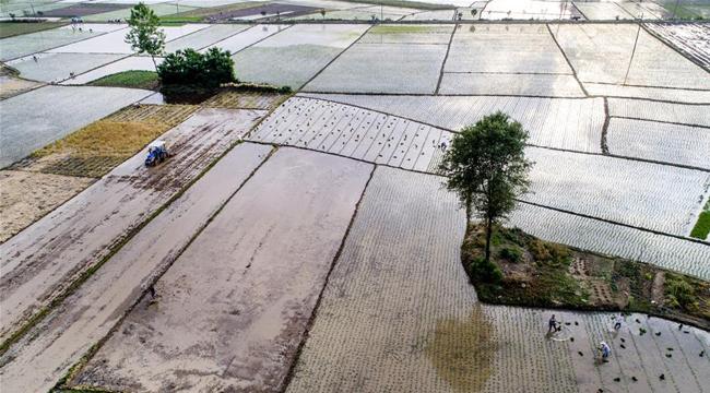 陕西勉县:万亩水稻大面积栽插
